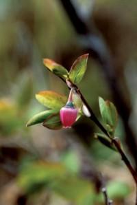 blueberry pollen