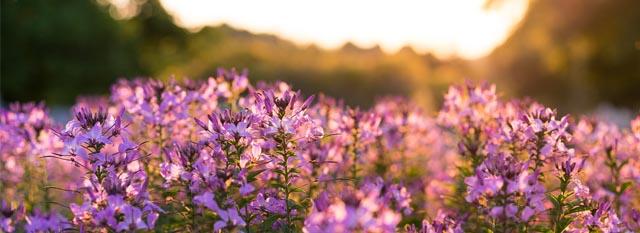 slider-fireweed-zonsondergang